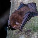 Image of Small Woolly Bat