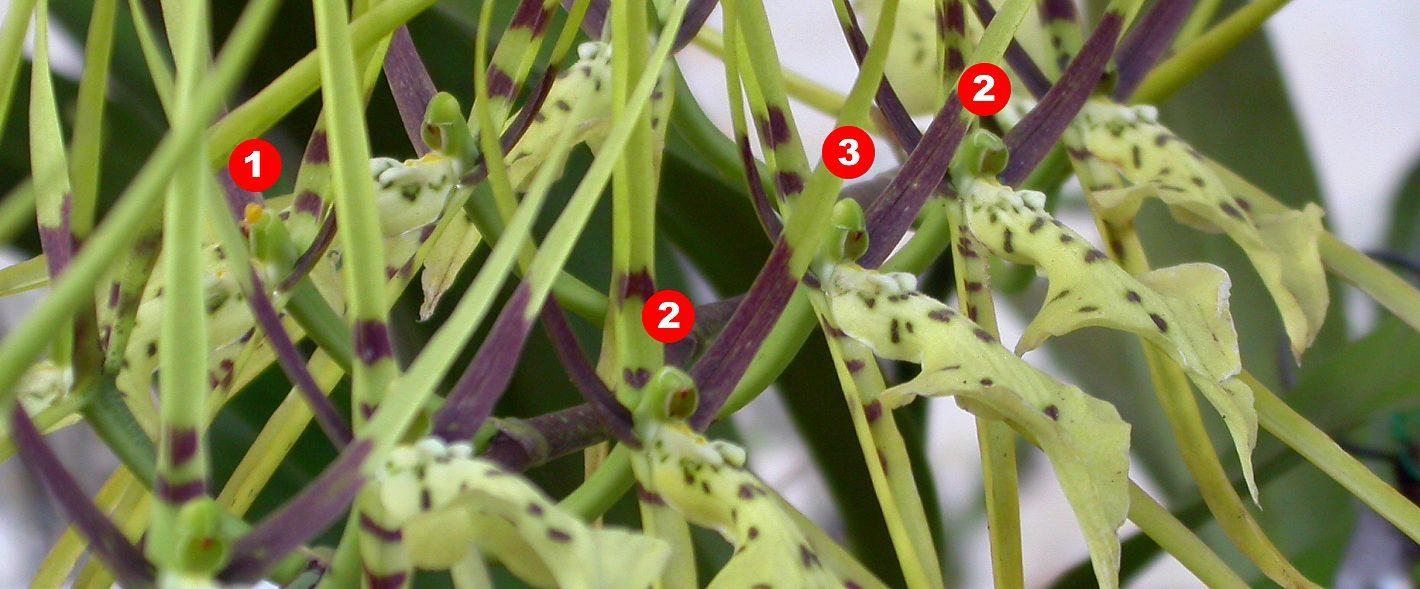 Image of <i>Brassia arachnoidea</i> Barb. Rodr.