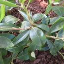 صورة <i>Rhododendron carolinianum</i> Rehder