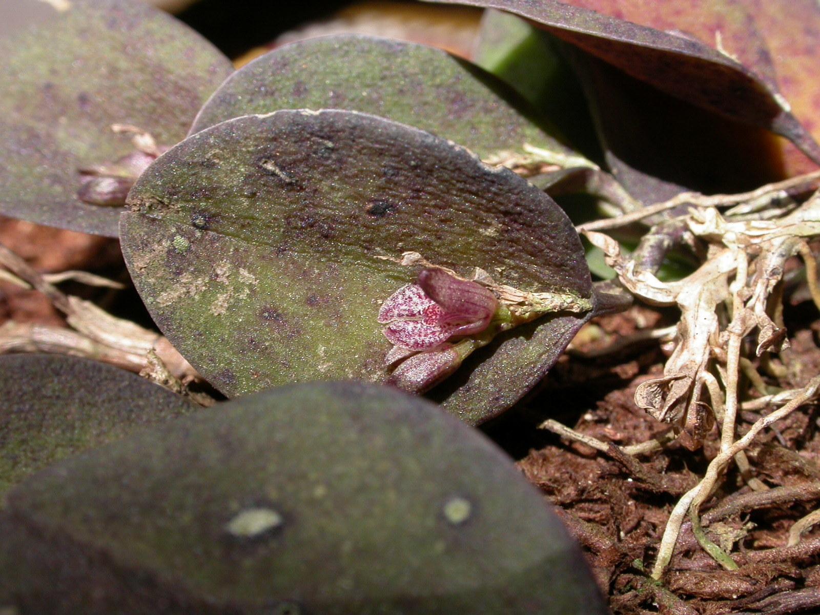 Image of <i>Acianthera rostellata</i> (Barb. Rodr.) Luer