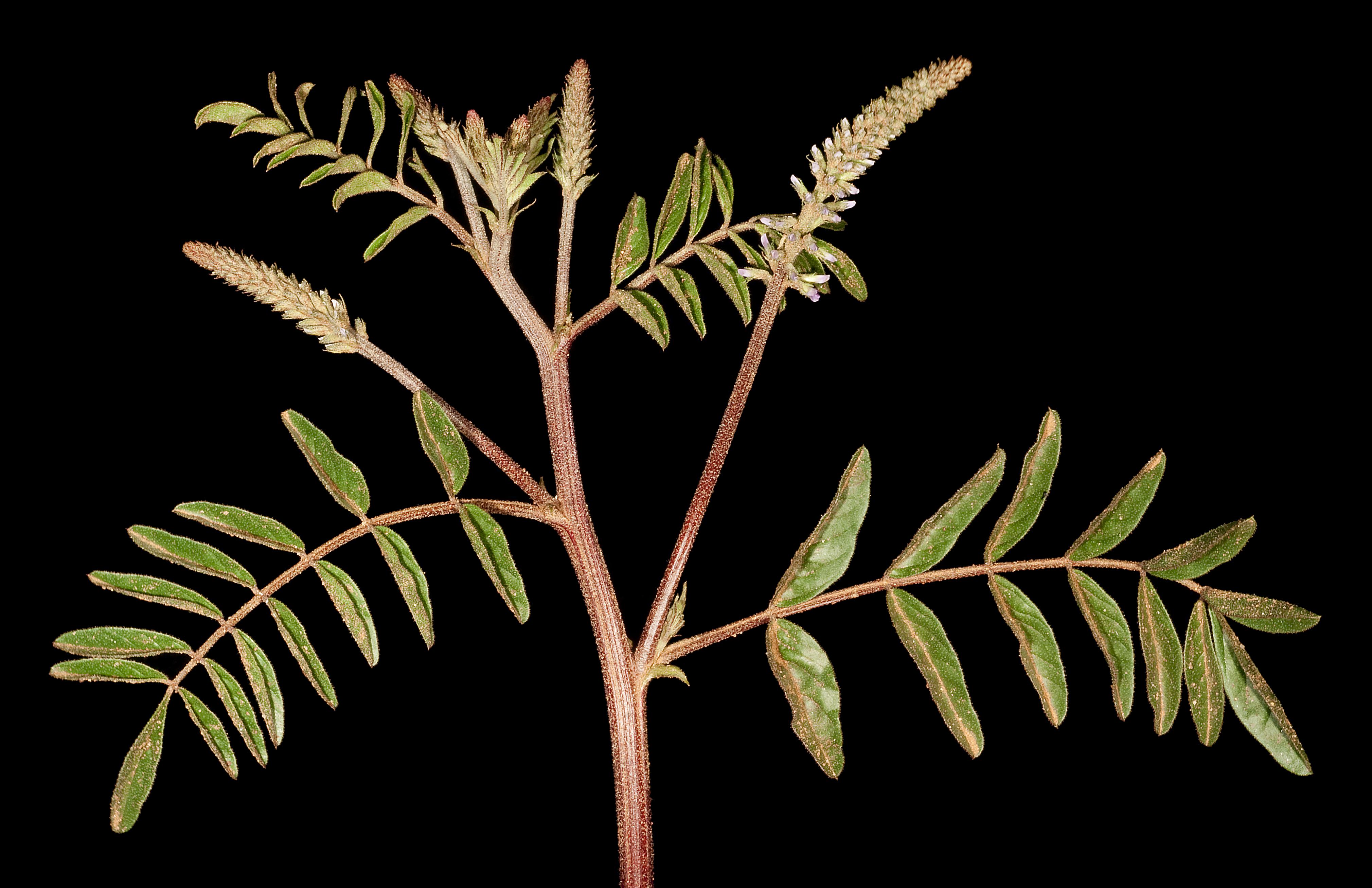 Image of <i>Glycyrrhiza acanthocarpa</i> (Lindl.) J. M. Black