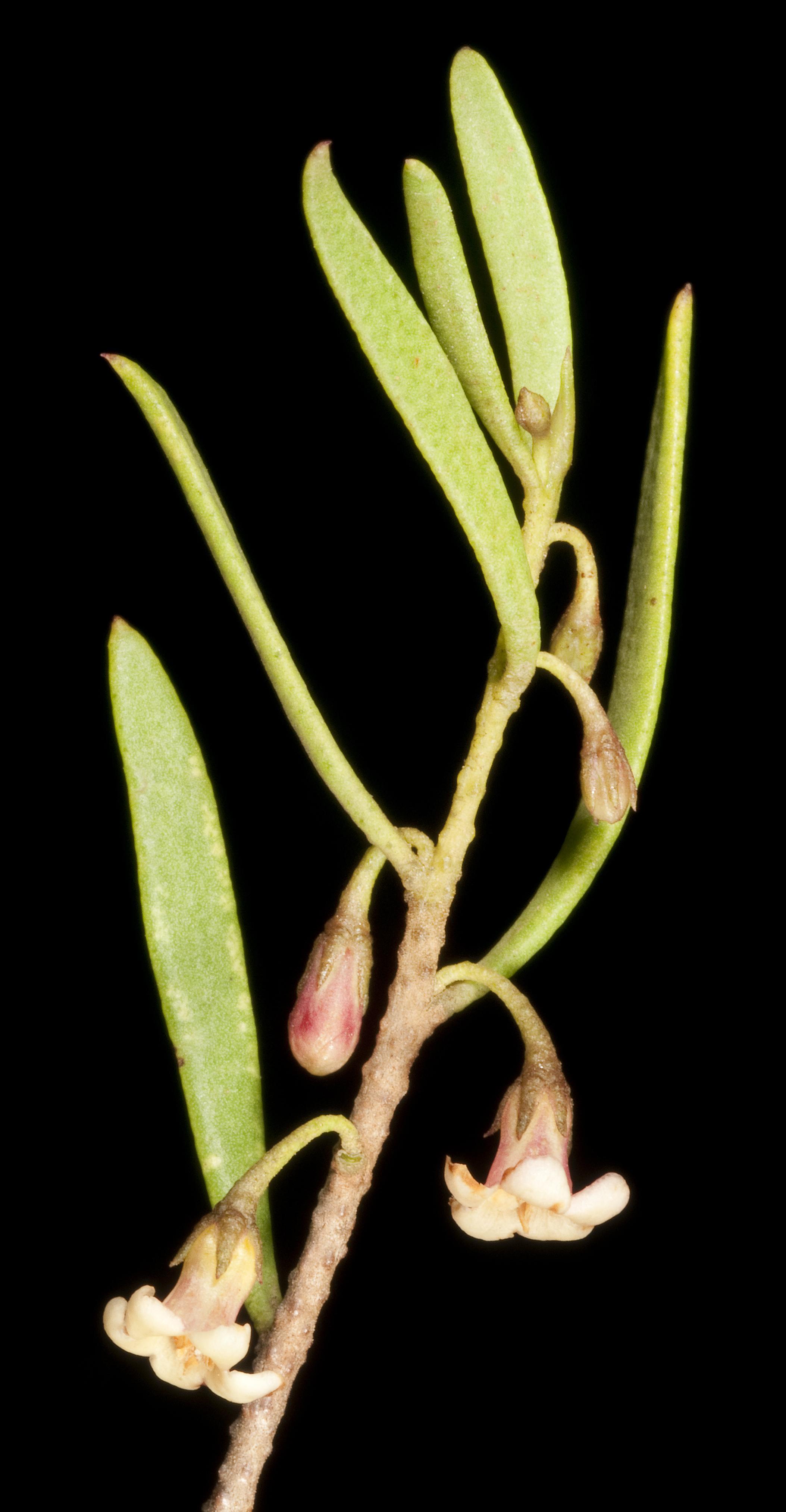 Image of Myoporum platycarpum