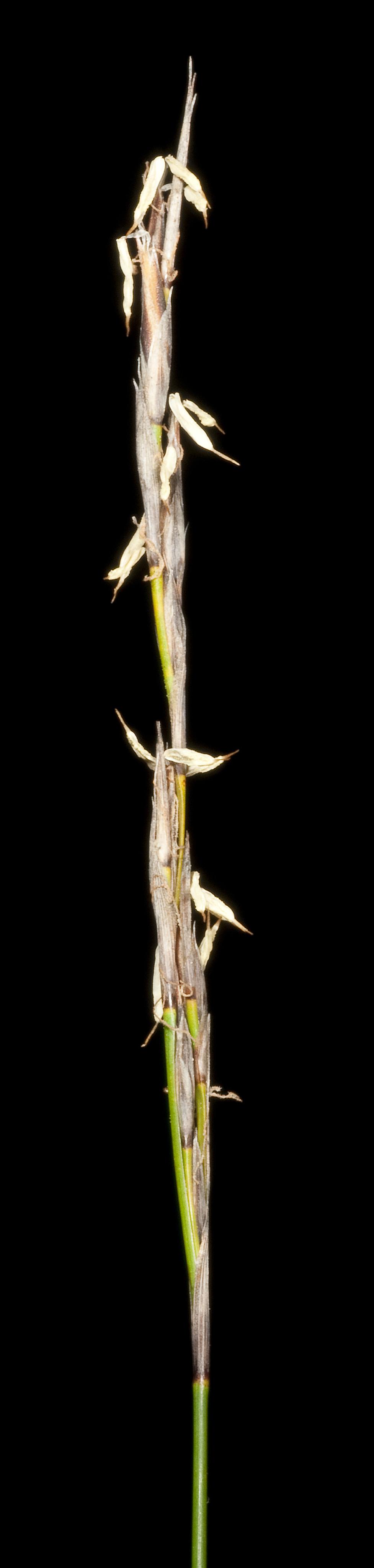 Image of Lepidosperma