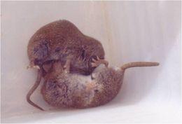 Image of <i>Crocidura pachyura</i>