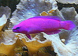 Image of orchid dottyback