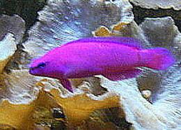 Image of <i>Pseudochromis fridmani</i> Klausewitz 1968