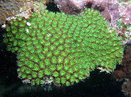Image of Fluorescence grass coral