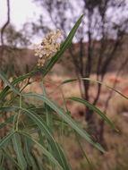 Image of <i>Atalaya hemiglauca</i> F. Müll. ex Benth.