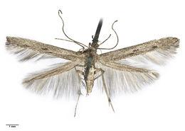Image of Batrachedra