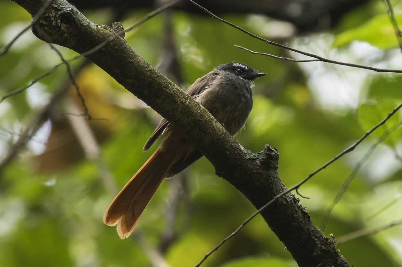 Image of Rufous-tailed Fantail