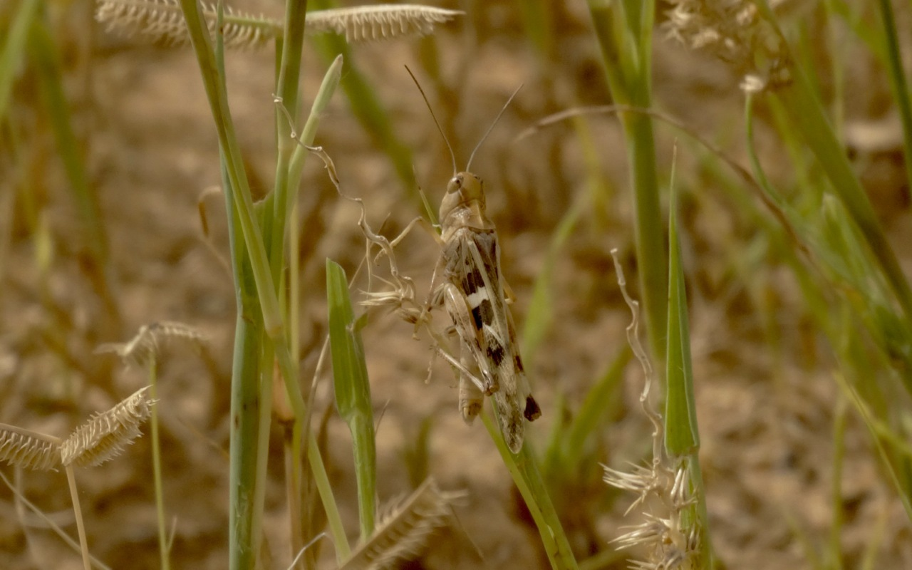Image of Senegalese grasshopper