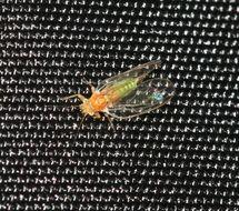 Image of Cacopsylla