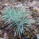 Image of <i>Koeleria glauca</i> (Spreng.) DC.