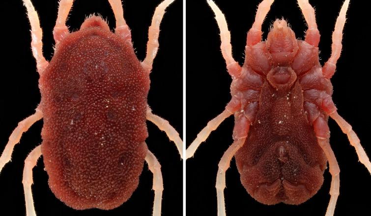 Image of Soft Ticks