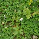 Image of Himalayan windflower