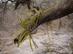 Image of <i>Acampe praemorsa</i> (Roxb.) Blatt. & Mc Cann