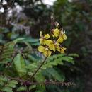 Image of <i>Caesalpinia mimosoides</i> Lam.