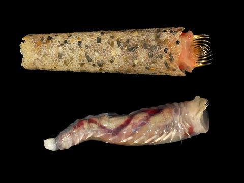 Image of <i>Pectinaria koreni</i>
