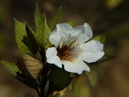 Image of Petalidium