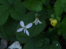 Image of sweet white violet