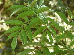 Image of <i>Sambucus nigra</i> ssp. <i>canadensis</i>