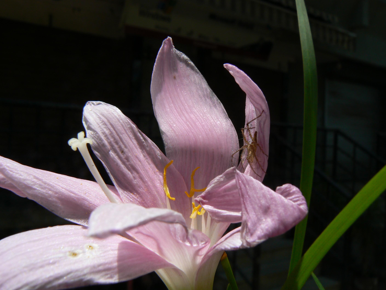 Image of Rosepink zephyrlily