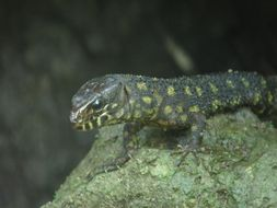Image of Tropical night lizards