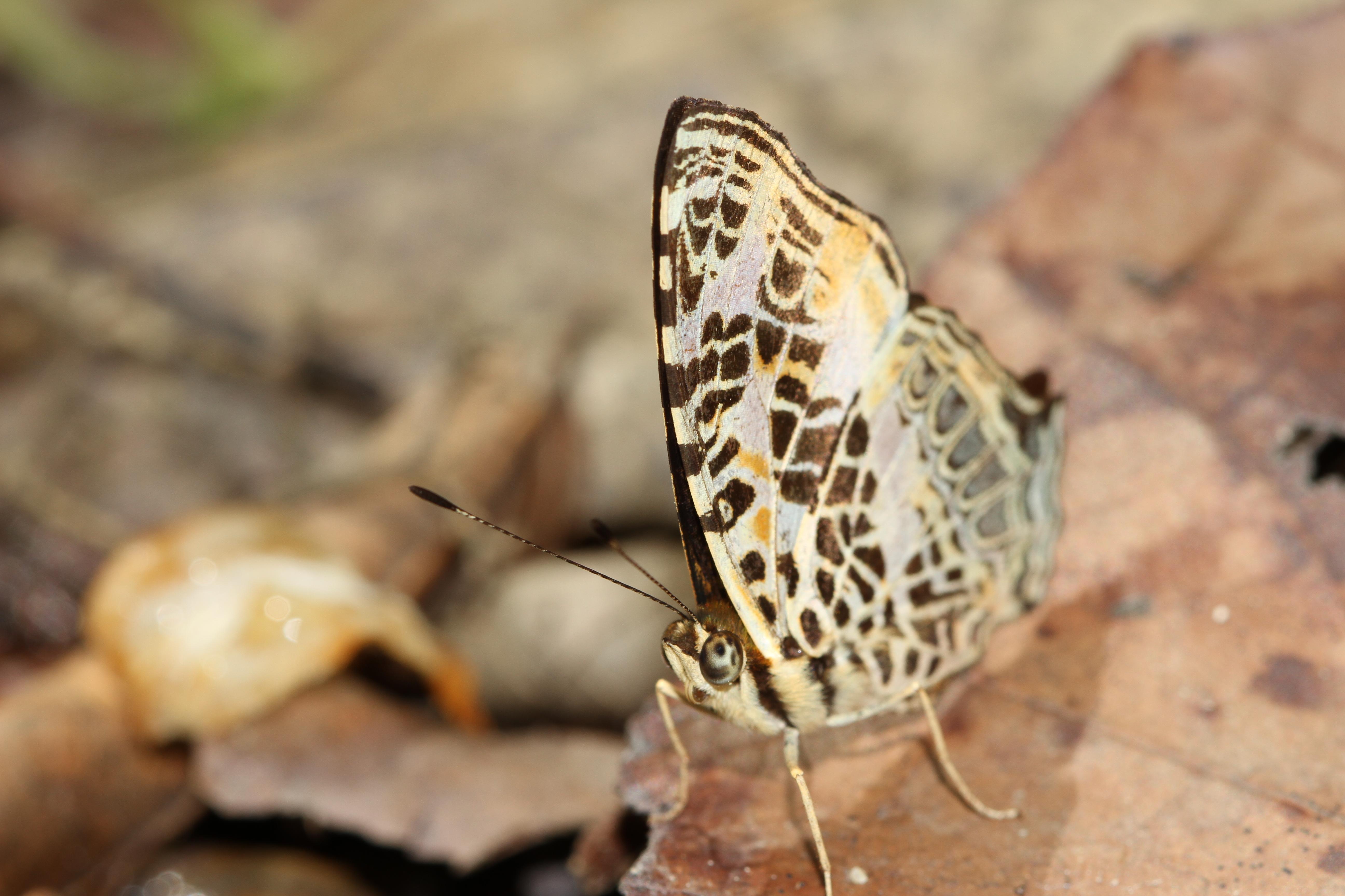 Image of Symbrenthia