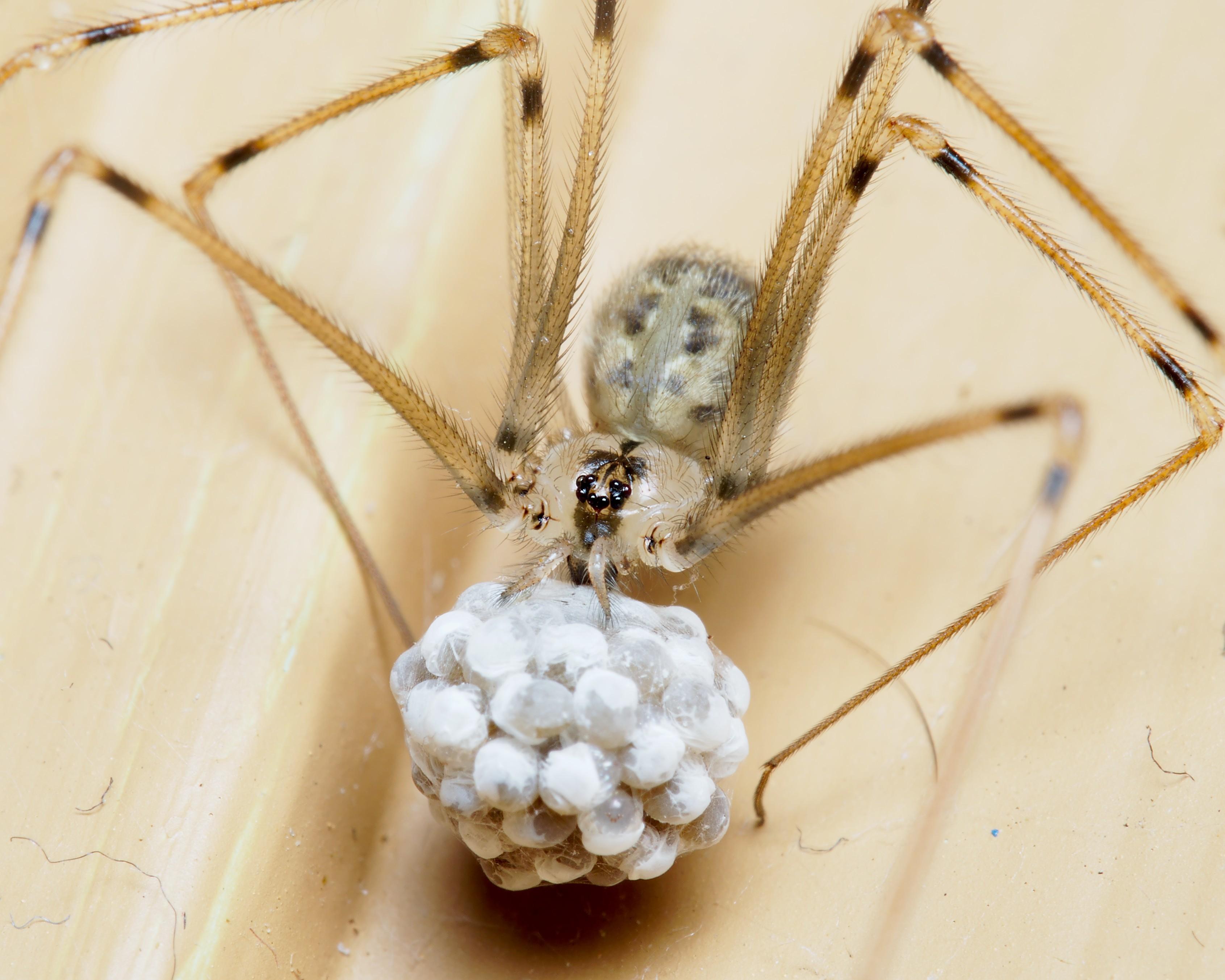 Image of Psilochorus