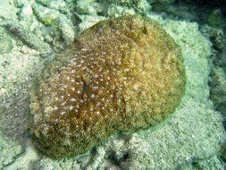Image of Basket Coral