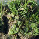 Image of <i>Anthoceros agrestis</i> Paton