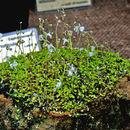 Image of <i>Utricularia sandersonii</i> Oliv.
