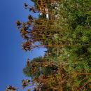 Image of <i>Jacobaea adonidifolia</i> (Loisel.) Pelser & Veldkamp