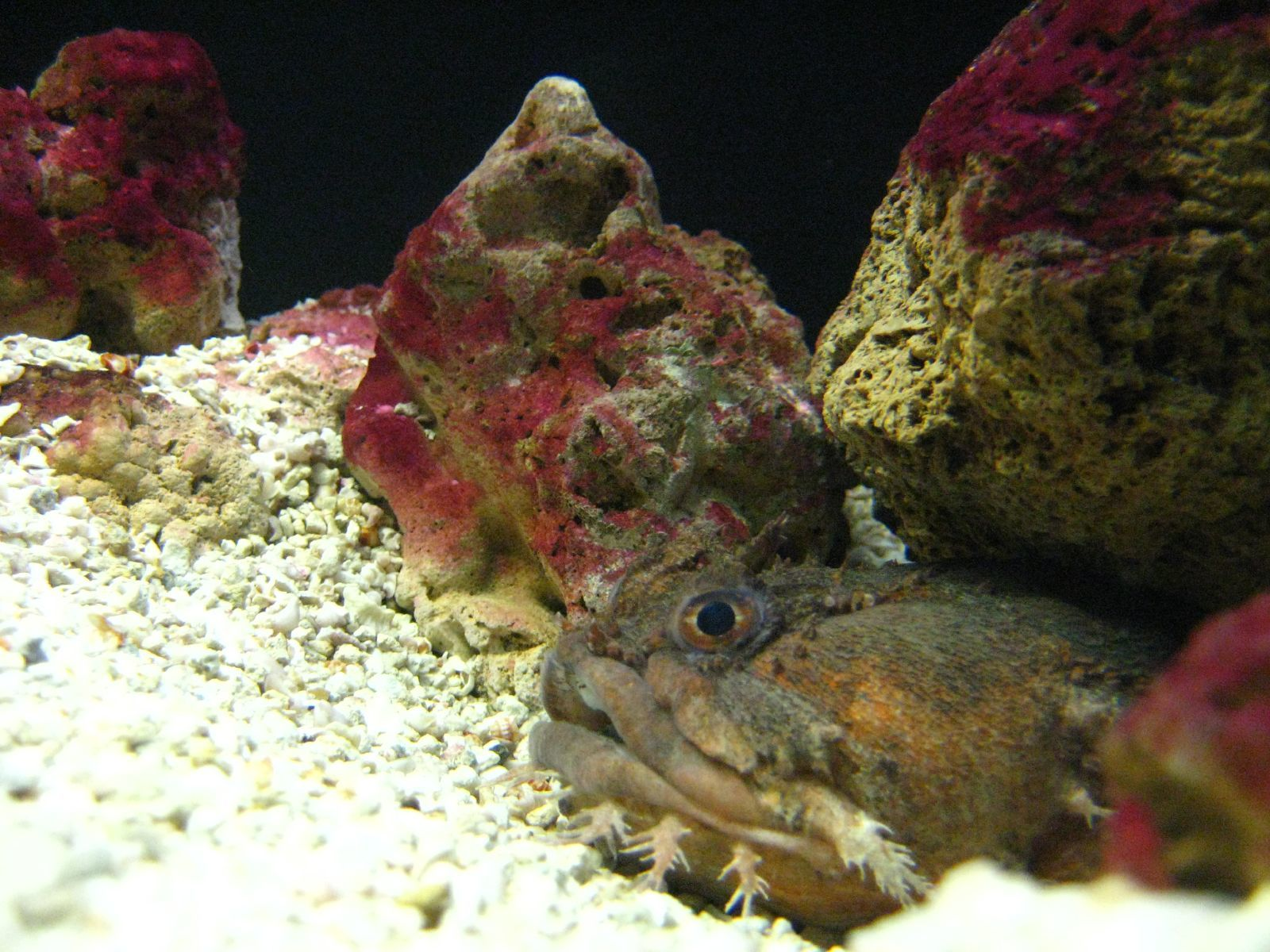 Image of Oyster Toadfish