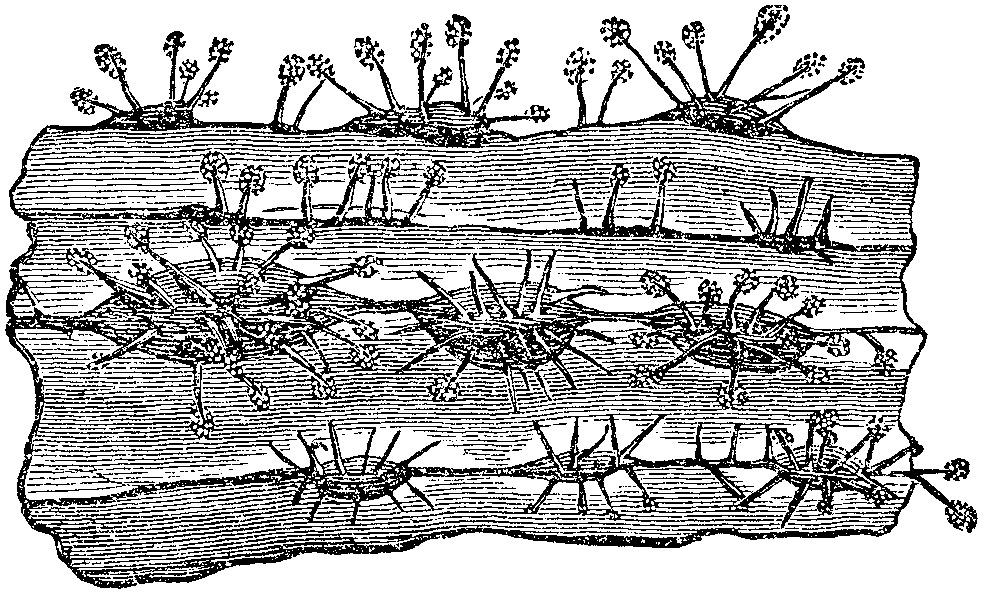 Image of <i>Rosellinia necatrix</i> Berl. ex Prill. 1904