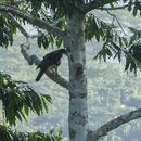 Image of Cassin's Hawk Eagle