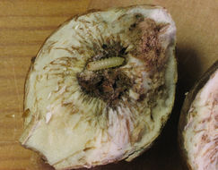 Image of Mordellistena