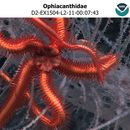Image of brittle stars and basket stars