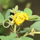 Image of sickle senna