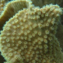 Image of Yellow scroll coral
