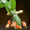 Image of Macleania