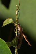 Image of <i>Ascalaphus sinister</i> Walker 1853