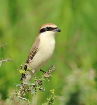 Image of Red-tailed Shrike