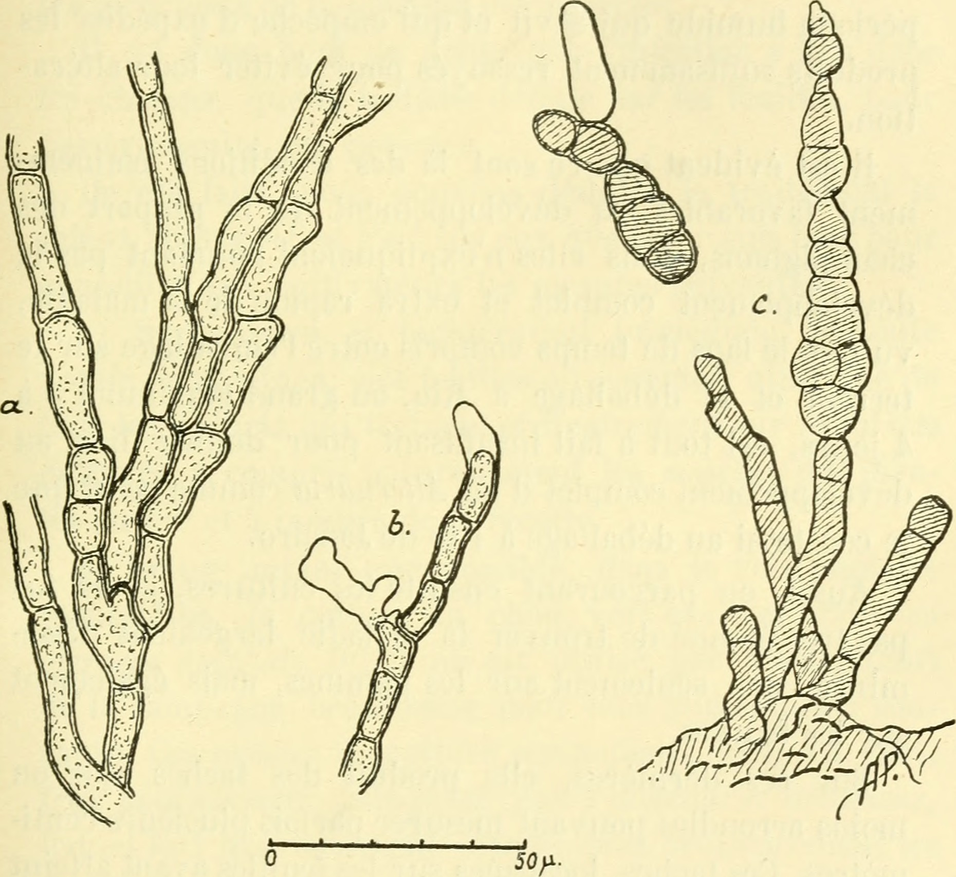 Image of <i>Alternaria brassicae</i> (Berk.) Sacc. 1880