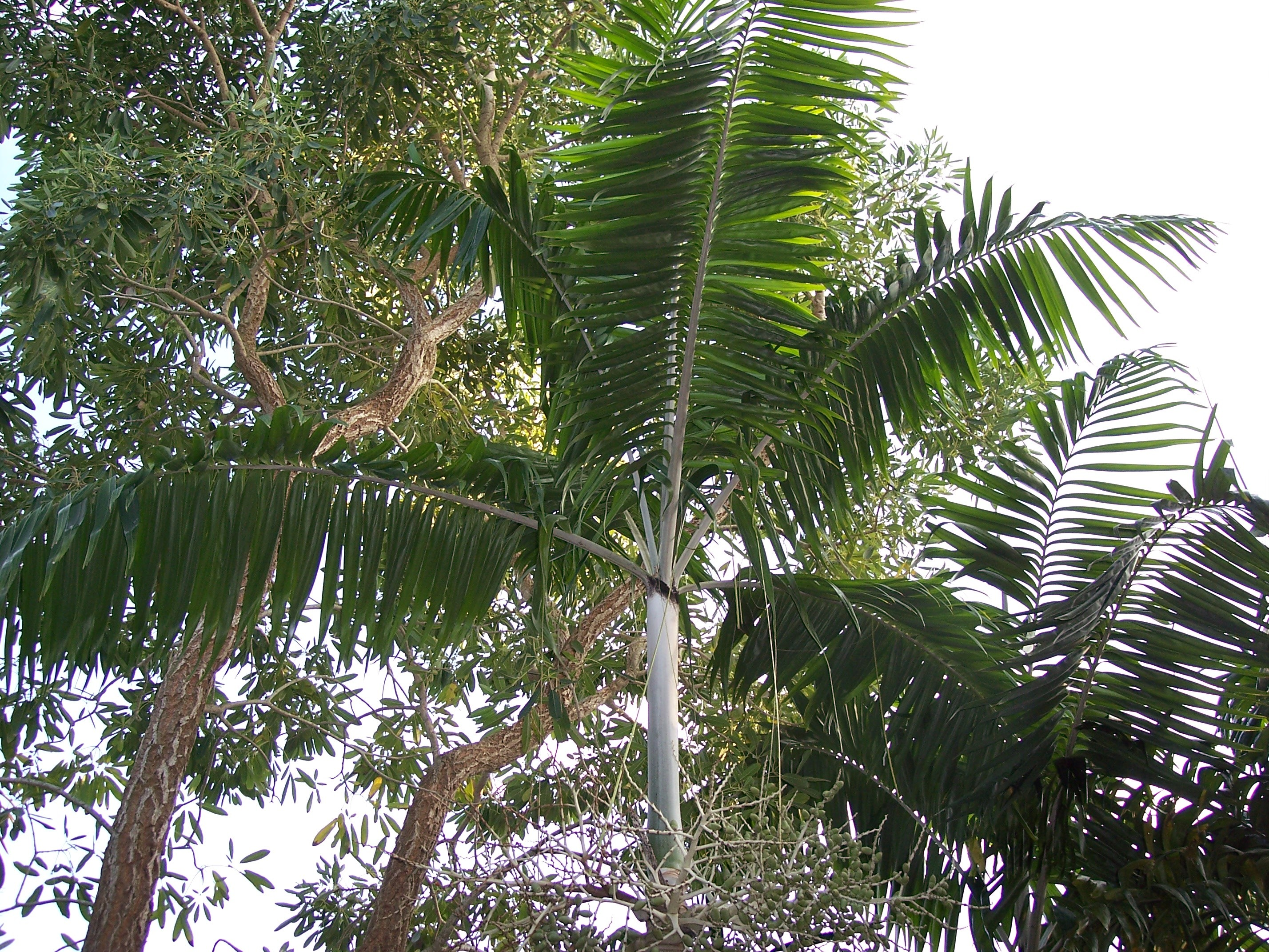 Image of <i>Veitchia arecina</i> Becc.
