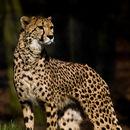 Image of Sudan cheetah