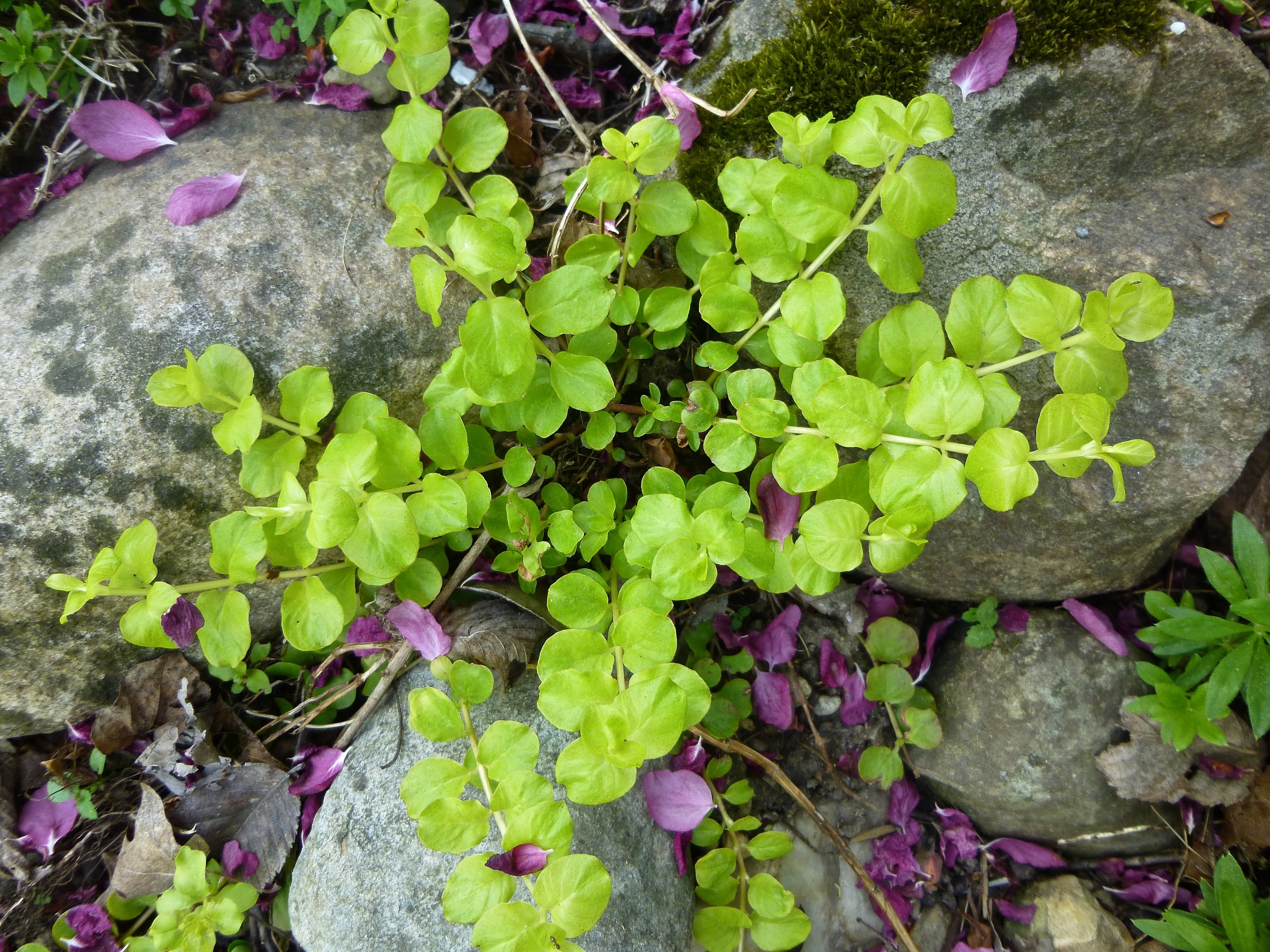 Image of Water Hyssop