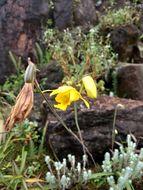 Image of <i>Ipsea malabarica</i> (Rchb. fil.) Hook. fil.