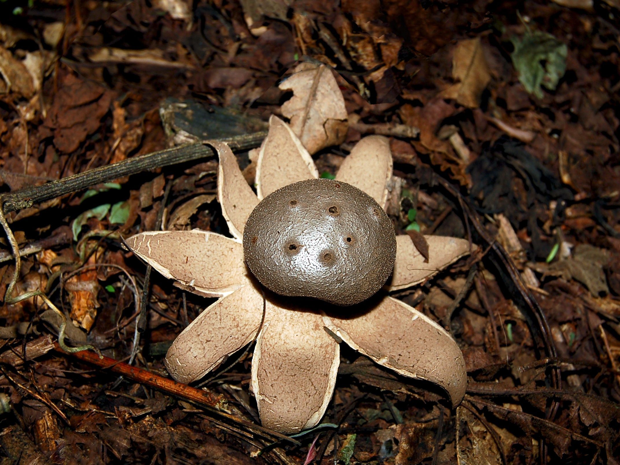 Image of Pepperpot Earth Star