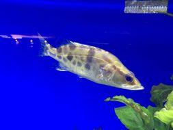 Image of Mandarin fish